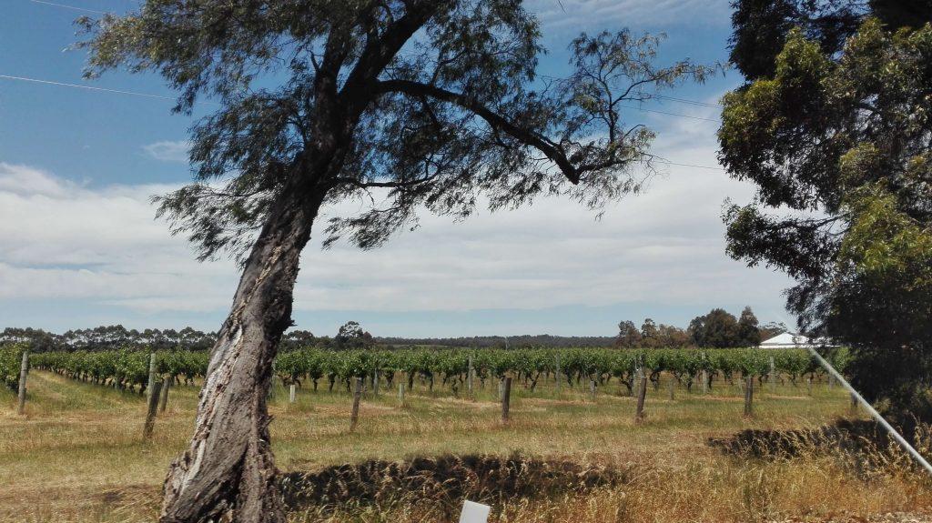 Vineyards in Margeret River